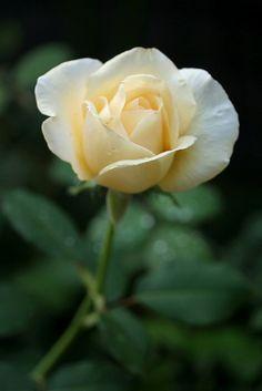 ~Hybrid Tea Rose: Rosa 'White Christmas' (U.S., 1953)