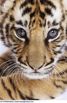 Pick your perfect Animal wedding program with Zazzle. Cute Tiger Cubs, Cute Tigers, Animals And Pets, Baby Animals, Cute Animals, Animal Babies, Bengal Tiger Cat, Rusty Spotted Cat, Tiger World
