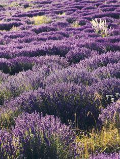 Lavander in Provence - Cote Sud