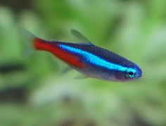 The Neon Tetra (Paracheirodon innesi) is one of the most beautiful tropical fish beginners can keep in their first 20 gallon aquariums. Although they are not recommended for new tanks, these fish are splendid additions to any community tank. Tropical Freshwater Fish, Freshwater Aquarium Fish, Fish Aquariums, Beautiful Tropical Fish, Beautiful Fish, Neon Tetra Fish, Fish Breeding, Pet Snake, Fish Care