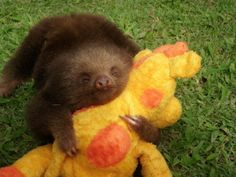 Sloth With A Plush Toy Sloths may be lazy in life, but not in love.
