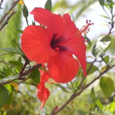 Hibiscus flower.... Favorite flower