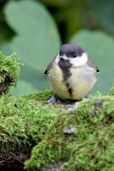 Parus major Parus Major, Great Tit, Pond, Ireland, Birds, Animals, Water Pond, Animales, Animaux