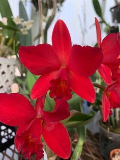 Red Orchids, Red Flowers, Red Jewel, Plants, Beauty, Beautiful, Pereira, Beautiful Flowers, Cactus Flower