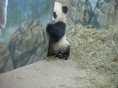 A shy panda cute image Cute Baby Animals, Animals And Pets, Funny Animals, Panda Love, Cute Panda, Save The Pandas, Panda Lindo, Cute Images, Funny Animal Pictures