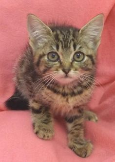 Adopt Grey Tabby Baby a Gray or Blue Domestic Shorthair / Mixed (short coat) cat   Blue, Grey Female Tabby Kitten For Sale in Martinsburg WV   3954812337   Cats on Oodle Marketplace