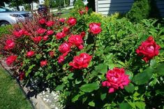 Knockout Roses Care: 5 How To Tips On Caring For Knockout Roses Knockout Rose care is so easy it saved the popularity of roses. The Knockout Rose is the most popular type of rose in the USA today. [LEARN MORE AND WHY] Knockout Roses Care, Pruning Knockout Roses, Knockout Rose Tree, Double Knockout Roses, Floribunda Roses, Shrub Roses, Love Garden, Garden Care, Tips
