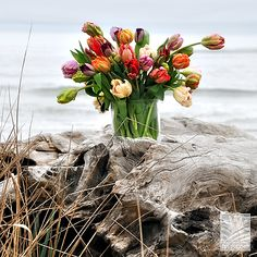 Our fancy tulips, on the beach in NorCal. #AmericanGrown. Ask for Sun Valley Tulips!
