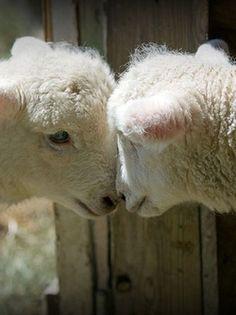#animals #ovelhas