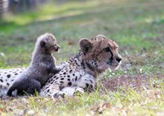White Cheetah Cubs