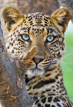 leopard with blue eyes … awww ! leopard with blue eyes … Nature Animals, Animals And Pets, Funny Animals, Cute Animals, Wild Animals, Big Cats, Cats And Kittens, Cute Cats, Beautiful Cats