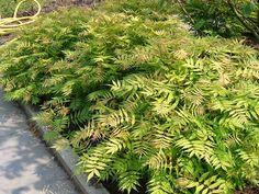 Sorbaria sorbifolia 'Sem' - Maréchal