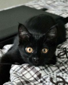 Halloween is coming and no other animal is more iconic than a black cat when it comes to this dark holiday. Take a look at these adorable black cats and kitten pictures and learn some interesting black cat facts and superstitions while you browse. I Love Cats, Crazy Cats, Cool Cats, Animal Gato, Image Chat, Cute Black Cats, Black Kitty, Gatos Cats, Photo Chat