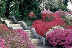 Biltmore Azalea garden started my hunt for the beautiful purple plants shown in this photo.