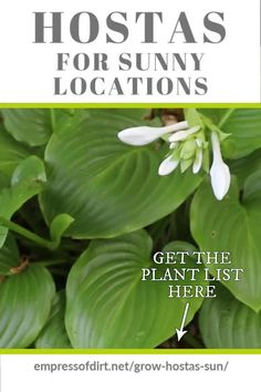 There are plenty of hostas that do fine in sunny locations if you keep them watered. Get the plant list here. There are plenty of hostas that do fine in sunny locations if you keep them watered. Get the plant list here. Hosta Plants, Ivy Plants, Shade Plants, Houseplants, Garden Plants, Flowering Plants, Indoor Plants, Bonsai Garden, Shade Garden