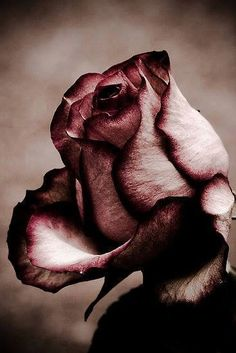 """But he who dares not grasp the thorn Should never crave the rose."" ~Anne Brontë"