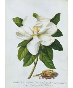 I love Magnolia trees--their aroma is intoxicating and takes me to an earlier time growing up in Florida. And they are beautiful!   This botanical Illustration, 'Magnolia.' by Georg Dionysius Ehret, German born, 1708 - 1770