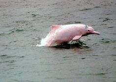 The Baji river dolphin was declared officially extinct in 2006