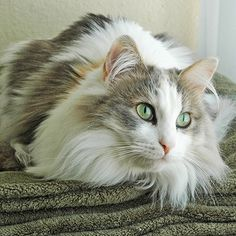 Ragamuffin Cat - http://catbreedsinformation.com/ragamuffin-cat/ The Ragamuffin Cat, originally from United States, is a medium sized, medium coated cat breed that has become quite popular among cat fans around the world.The Ragamuffin Cats are said to have quite the personality. Their owners have said that they are often curious, relaxed, and personal.Owners can expect to spend many years with their Ragamuffin Cat. They are said to live between 8 and 13 years!Please continu