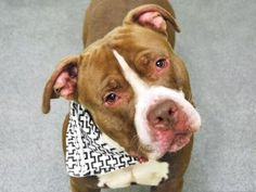☠ KILLED BY RISA WEINSTOCK , DIRECTOR OF NYC ACC&C ☠ LACKS COMPASSION & EMPATHY & HUMANITY . My name is WALLACE. My Animal ID # is A1097776. I am a male brown and white am pit bull ter mix. The shelter thinks I am about 2 YEARS old.  I came in the shelter as a SEIZED on 11/23/2016 from NY 10302, owner surrender reason stated was BITEANIMAL.