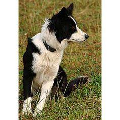 Working Border Collie Sheepdog Kate