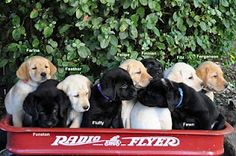 Canine Companion puppies...