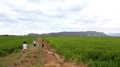 Camps d'arròs. Sueca