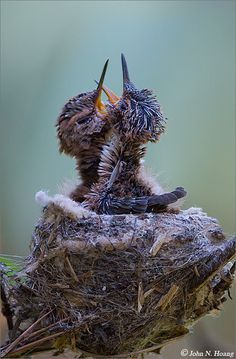 Hummingbird babies crying for food.such beautiful little creatures!