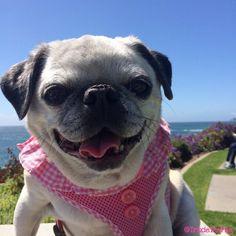 Trixie The Pug (@TrixieThePug)   Twitter