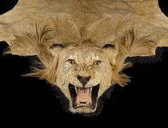 Female African Lion Skin Rug #interiordesign #hunting #interiordecor # Lionskin #lionskinrug