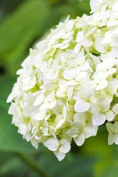 Hydrangea Landscaping, Hydrangea Garden, Hydrangeas, Hortensia Annabelle, Annabelle Hydrangea, Smooth Hydrangea, Coastal Gardens, Rosy Pink, Flowering Shrubs
