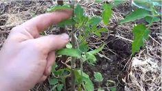 La Huertina De Toni: Como Podar Y Quitar Los Chupones Al Tomate