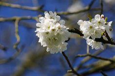 apple blossom, photo Birgit Puck