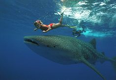 Swim with Whale Sharks ~ fishing village of Donsol. Interacting with Butanding, also known as the gentle giant, is an exhilarating adventure. The waters of Donsol are your best bet to spot these gigantic blue-grey spotted creatures. Riviera Maya, Cozumel, Cancun Mexico, Holbox Island Mexico, Swimming With Whale Sharks, Excursion, Wale, Roatan, Summer Pictures