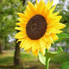 🌻🌻🌻 . . #decoclaycraftacademy #decoclay #claycraftbydeco #clayflowers #sunflower  #flower #handmade #decoクレイクラフト #デコクレイ #クレイフラワー #クレイ #ひまわり #花のある暮らし #ハンドメイド #習い事 #枚方