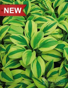 "Moon Split Hosta  Height: 	16-20""  Bulb Size: 	No 1  Perennializing: 	Yes  Grow In Containers: 	Yes  Hardiness Zone: 	3 - 8  Suitable Zone: 	3 - 9  Planting Time: 	spring  Planting Depths: 	1-2""  Planting Spacing: 	24-30"""