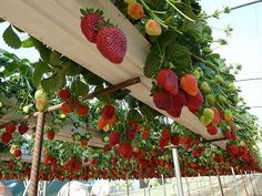 Gutters on top of a trellis to plant strawberries in. Keeps them from taking over too.
