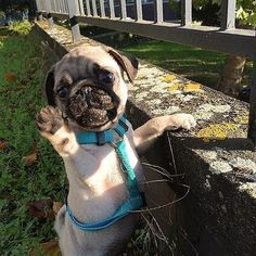 from Shop for Pug Lovers bio Via Comment below if You like this Love to tag? from Shop for Pug Lovers bio Via Comment below if You like this Love to tag? Pug Puppies, Pet Dogs, Pets, Doggies, Pug Pictures, Animal Pictures, Pug Pics, Cute Funny Animals, Cute Baby Animals