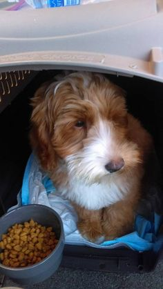 One Labradoodle puppy from Oregon to Stockholm Sweden