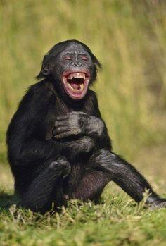 Ist dieses Bild nicht genial? Da hat sein Schimpanse-Kollege wohl gerade einen besonders guten Witz erzählt. Auf jeden Fall scheint der Schimpanse sich ja gar nicht mehr einzukriegen vor lachen. Das kann man ja einfach nur mitlachen! | unfassbar.es