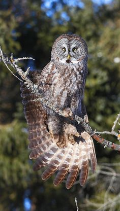 Source: Flickr / winnipegk5  #great grey owl