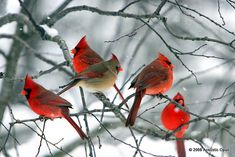 I have so many red birds. Praise the Lord. He gave us color in the drab of winter. Pretty Birds, Love Birds, Beautiful Birds, Animals Beautiful, Cute Animals, State Birds, Cardinal Birds, Bird Pictures, Cardinal Pictures