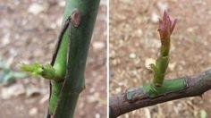 Dicas para enxertar árvores de fruto de forma fácil e na altura certa