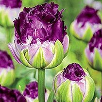 Nothing says spring like the bright, perky colors of spring flowering bulbs - plant these in the fall for a spring full of tulips, daffodils, hyacinths and more. Check out our newest varieties of spring bulbs for fall planting! Part Shade Flowers, Bulb Flowers, Tulips Flowers, Purple Flowers, Rare Flowers, Flowers Bucket, Purple Colors, Blooming Flowers, Cactus Flower