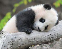 Sweet baby panda bear.