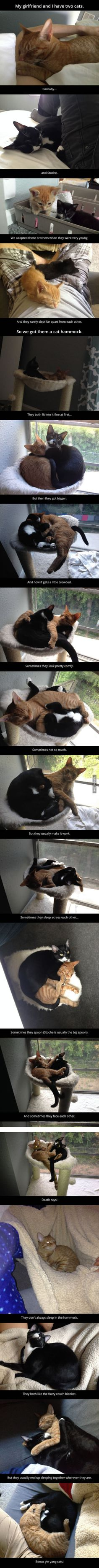 Adorable brother kittens, now cats, who always sleep together