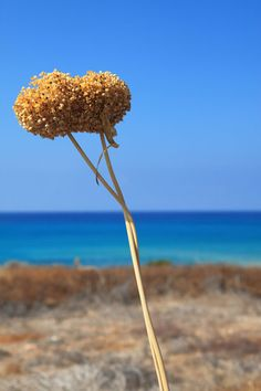 Dry Plant And Blue Sea Free Stock Photo - Public Domain Pictures
