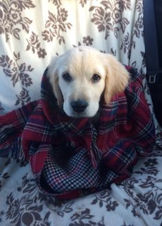 Why it's important: A little tiny golden retriever wrapped up in a scarf... This puppy is reaching new adorable heights and he doesn't even know it.