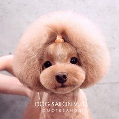 Is a Muzzle Right For Your Dog? Advice For Pet Grooming Dog Grooming Styles, Dog Grooming Shop, Poodle Grooming, Grooming Salon, Tough Dog Toys, Poodle Haircut, Creative Grooming, Dog Haircuts, Mini Dogs