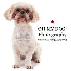 """Perfect pose! #ohmydogphotography #shihtzu #dogs #sandiegodogs #northparkdogs #northpark #dogsofinstagram"" Photo taken by @ohmydogphoto on Instagram, pinned via the InstaPin iOS App! http://www.instapinapp.com (03/06/2015)"